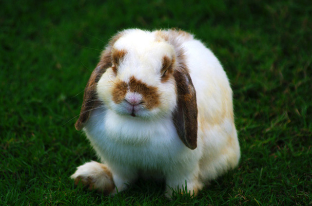 jenis kelinci holland hop