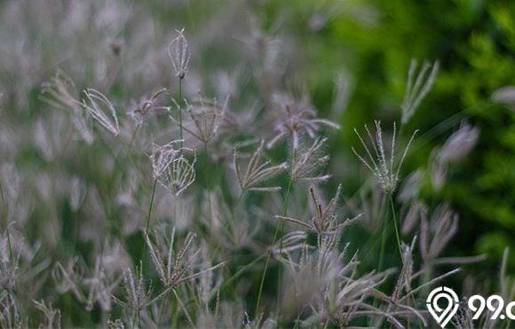 rumput belulang