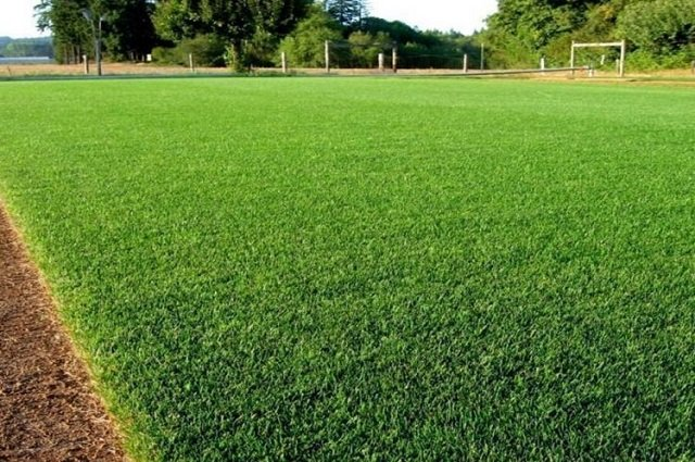 rumput peking halaman