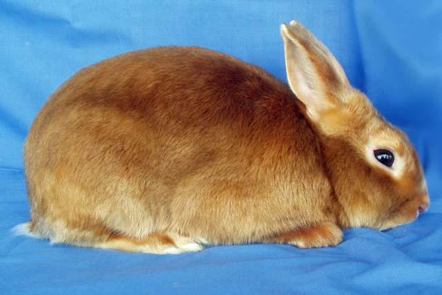 kelinci mini satin