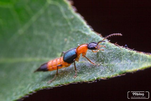 semut charlie beracun