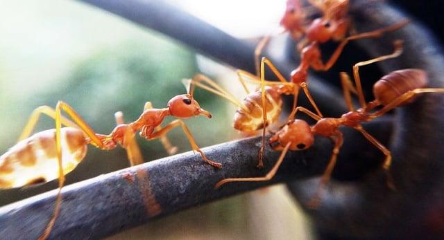 semut merah dalam islam