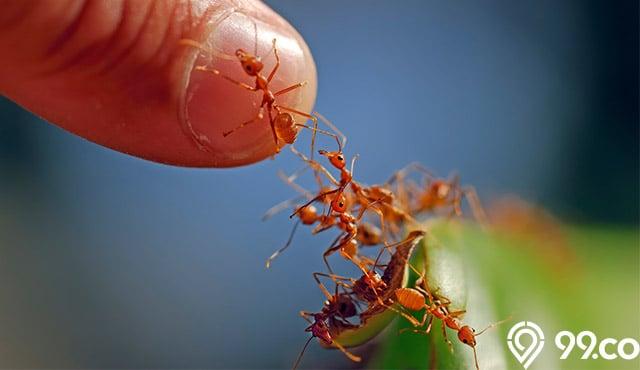 Semut Merah Banyak Di Rumah Ini Mitos Pertandanya Menurut Islam