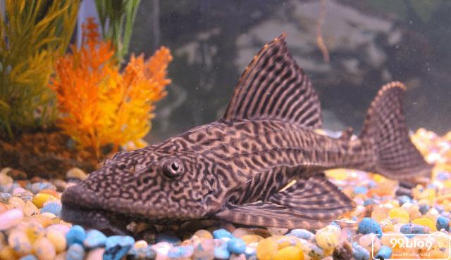 Dianggap Ikan Hias Pembawa Sial, Ternyata Manfaat Ikan Sapu-sapu Melimpah!
