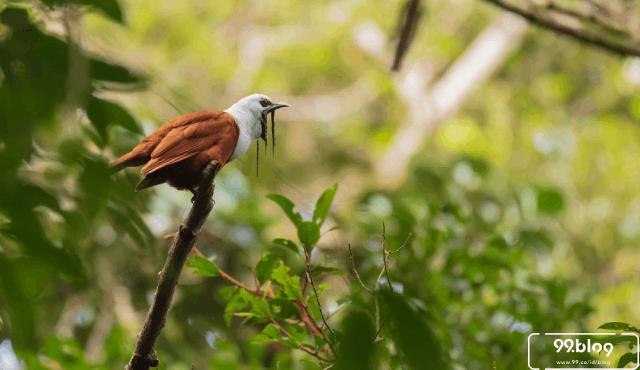 suara burung paling berisik di dunia