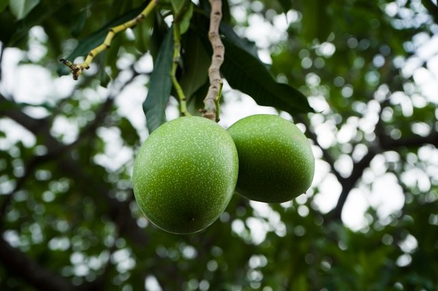buah beracun