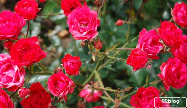 Cara Menanam Bunga Mawar Di Rumah Panen Banyak Cepat Mekar