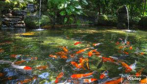 membuat kolam ikan