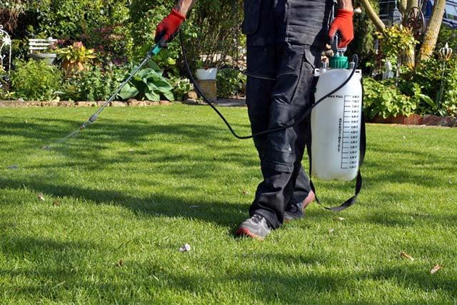menyiram rumput denga herbisida