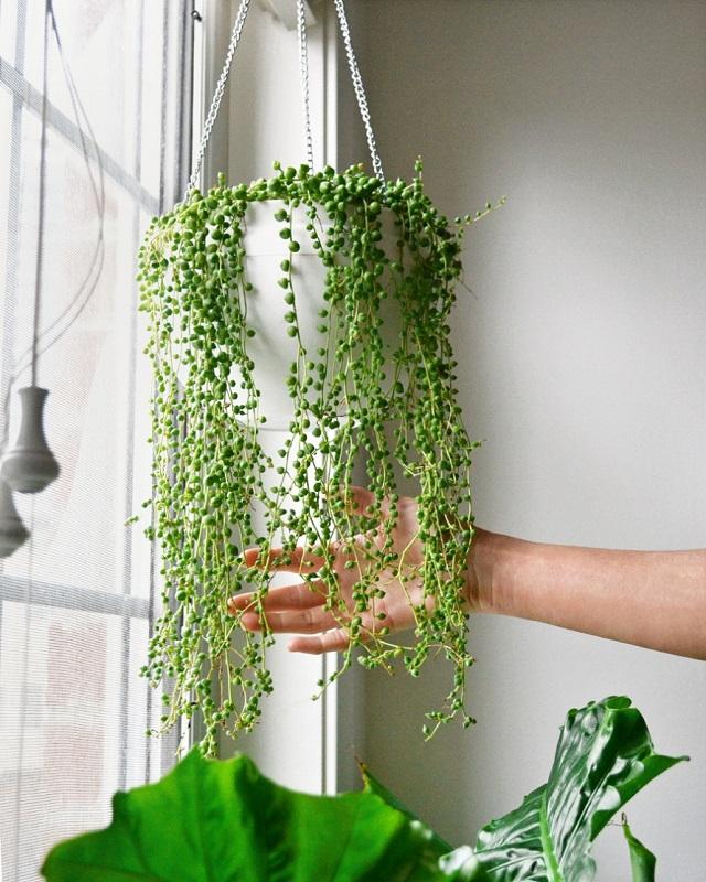 tanaman string of pearls