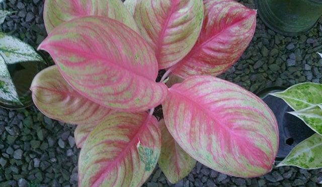 tanaman hias aglonema