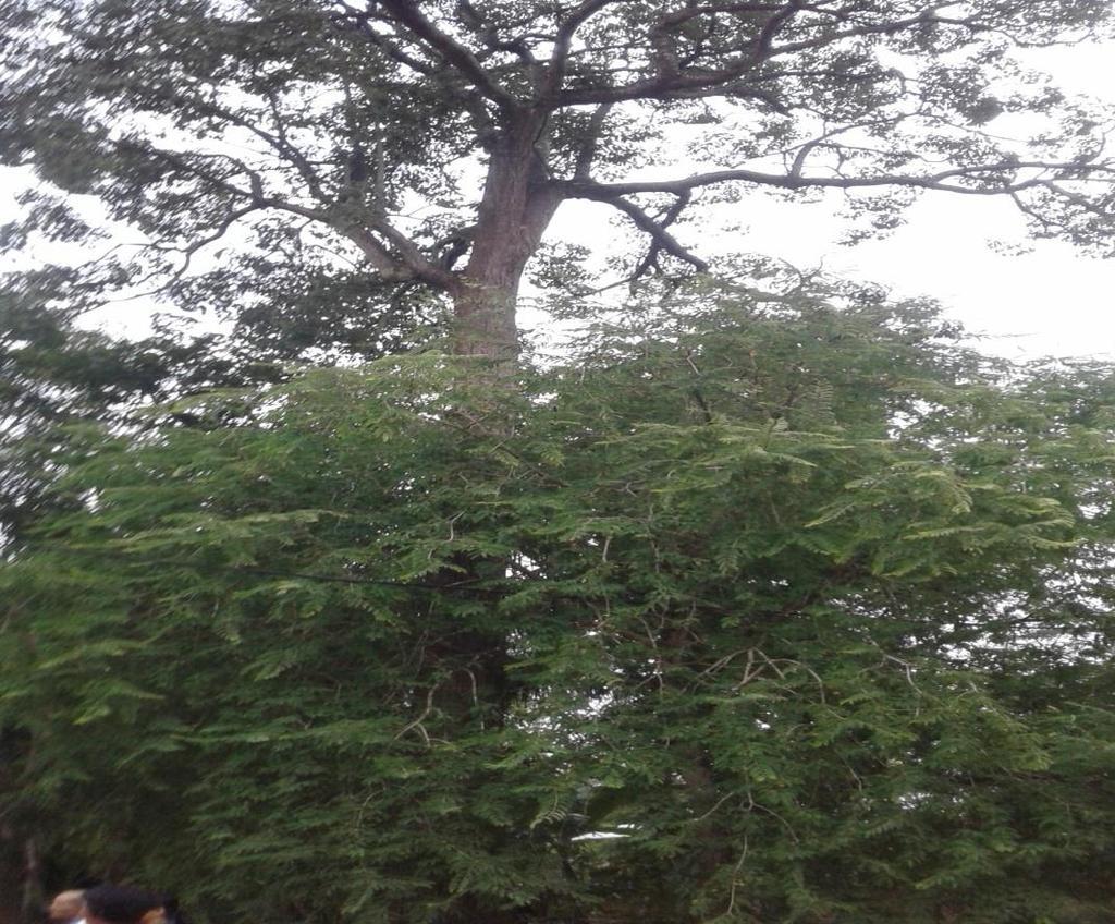 pohon pule desa tekorejo