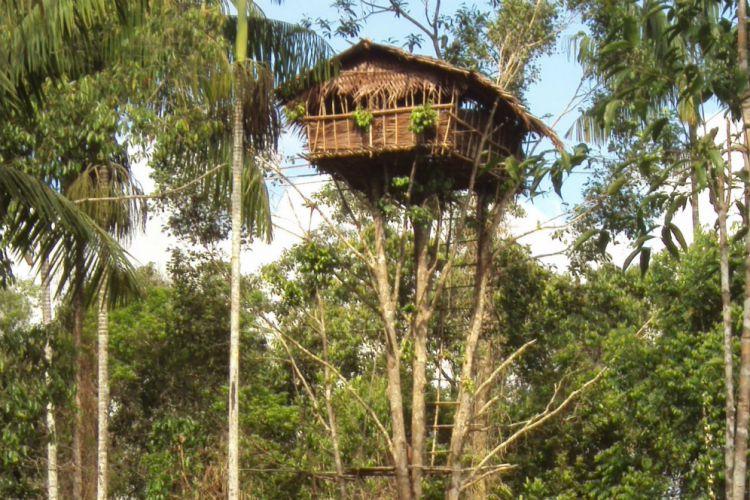 Rumah adat papua Pohon Suku Korowai