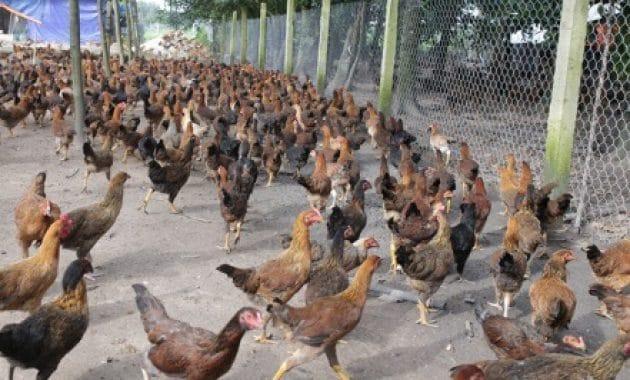 Sistem Semi Intensif ayam kampung