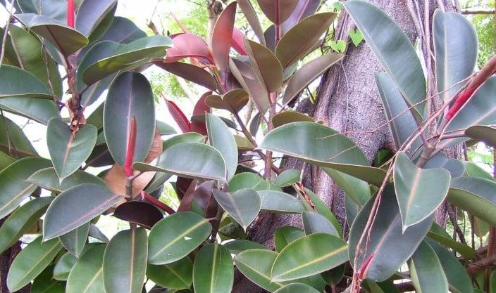 ciri ciri pohon karet kebo