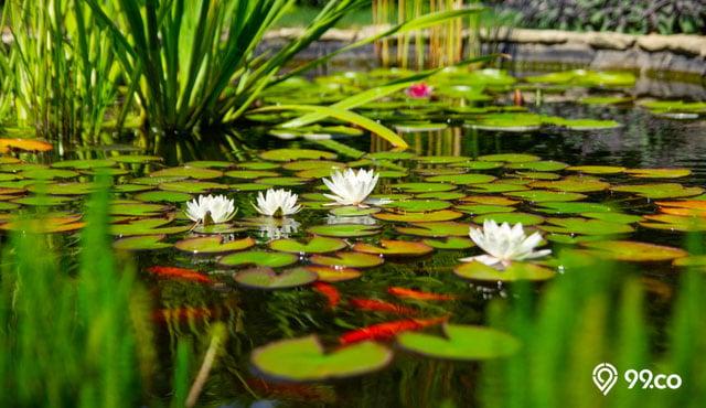 9 Jenis Tanaman Air Penghasil Oksigen Cocok Untuk Kolam Akuarium