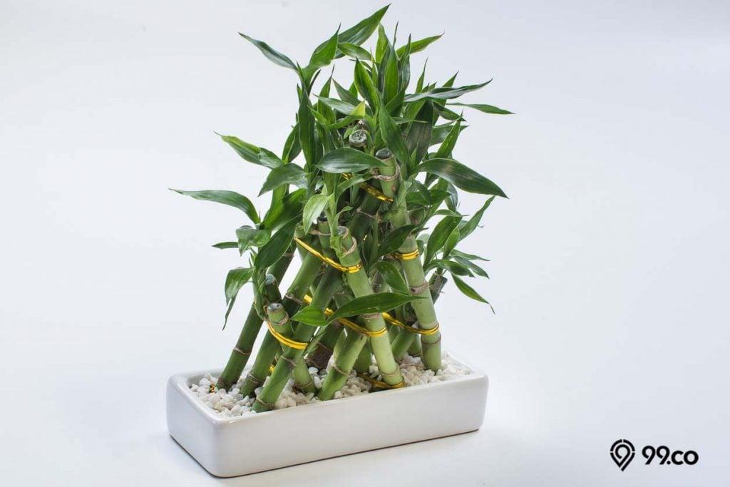 7 Manfaat Bambu Hoki Si Pembawa Keberuntungan Terpopuler Di Dunia