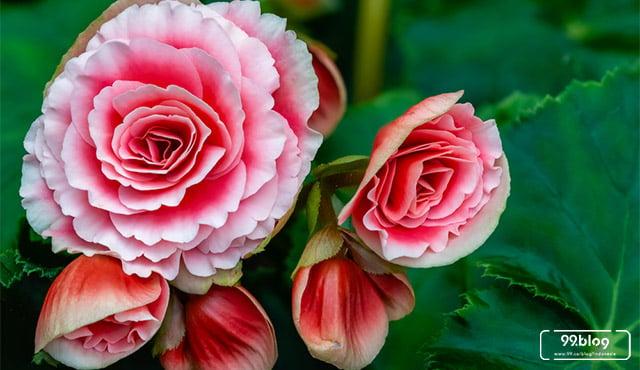 7 Jenis Tanaman Begonia Tips Perawatan Yang Wajib Diketahui