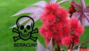tanaman beracun