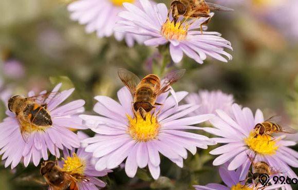 tanaman bunga pengundang lebah
