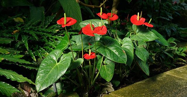 tanaman hias depan rumah daun kuping gajah