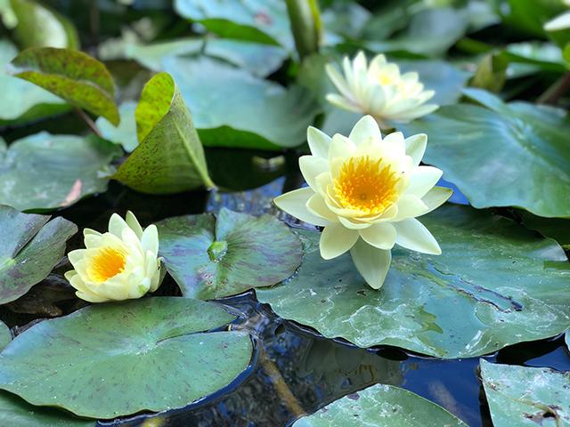 tanaman hias depan rumah bunga teratai