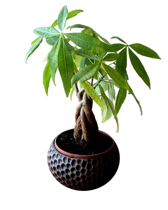 tanaman hias depan rumah pohon uang