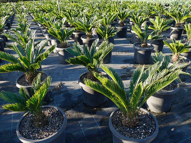 tanaman hias depan rumah tanaman palem