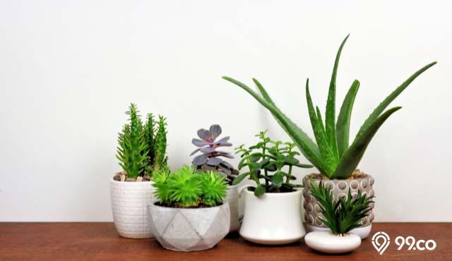 tanaman hias indoor unik