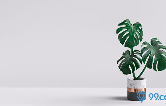 tanaman hias monstera