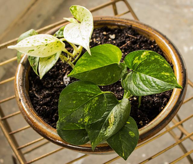 tanaman hias pembersih udara