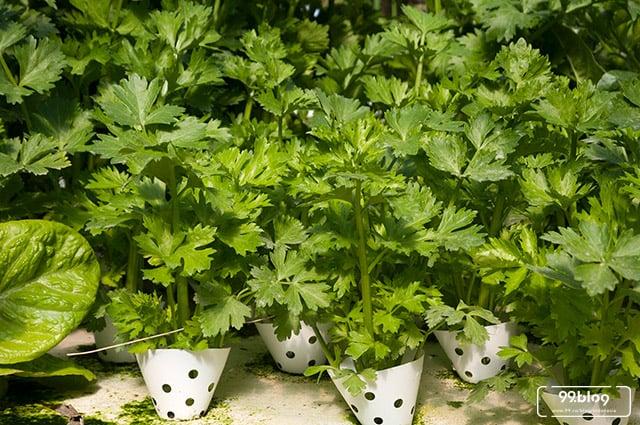tanaman hidroponik seledri