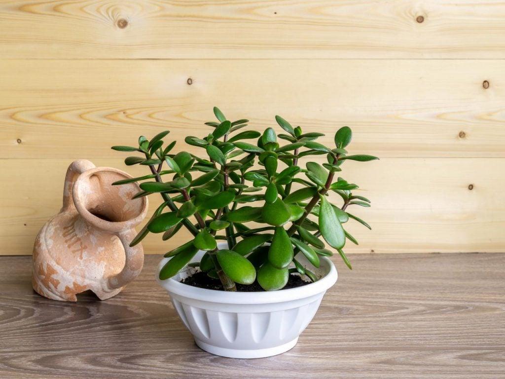 jade plant menurut islam