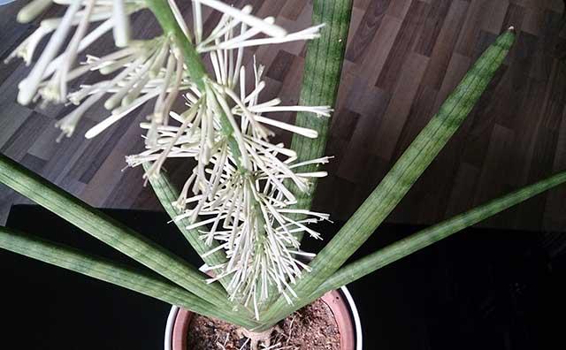 tanaman lidah mertua