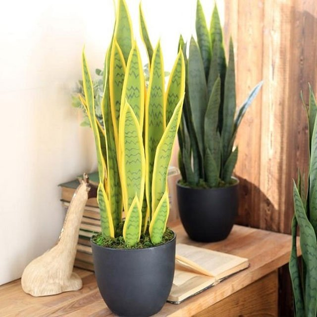 tanaman rumah penghasil oksigen lidah mertua