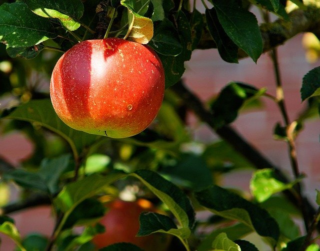 tanaman obat diabetes apel