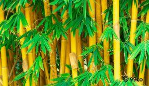 tanaman pengusir jin