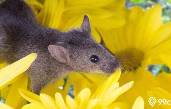 tanaman pengusir tikus ampuh
