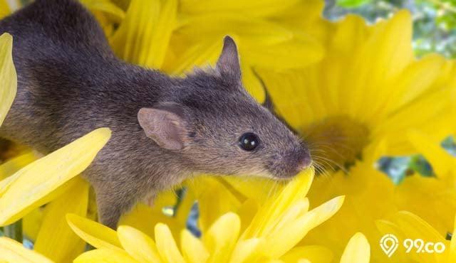 11 Tanaman Pengusir Tikus Yang Bisa Ditanam Di Rumah 100 Ampuh