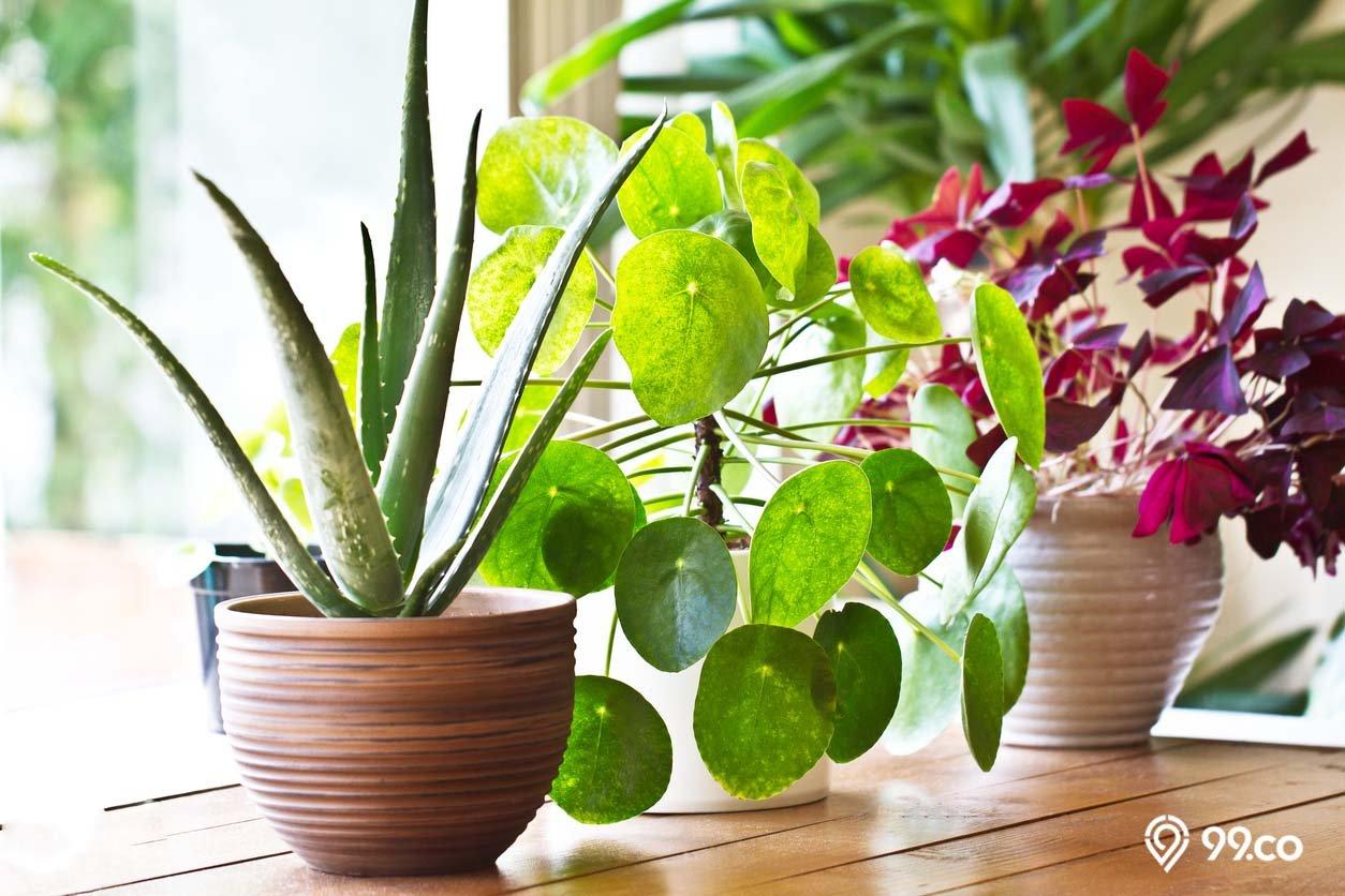 tanaman hias penyerap racun udara
