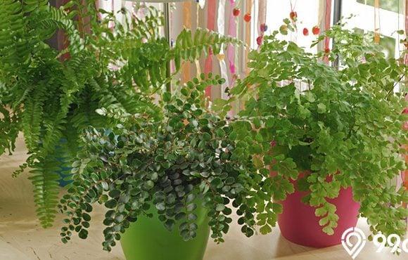 tanaman suplir dalam pot