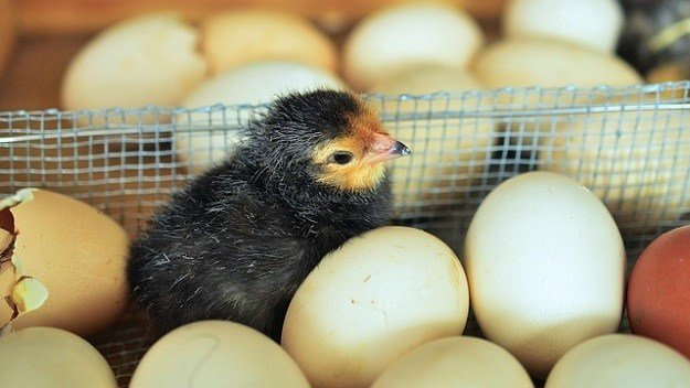 telur ayam menetas
