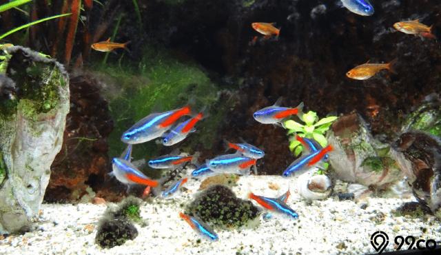 6 Cara Ternak Ikan Guppy Di Rumah Secara Sukses Tidak Cepat Mati