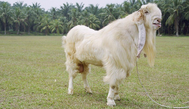 ternak kambing etawa putih