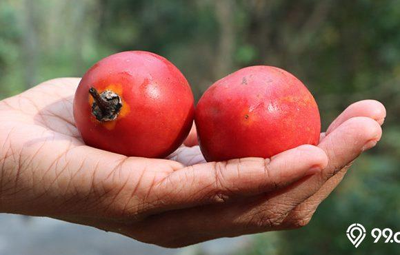 buah terong belanda