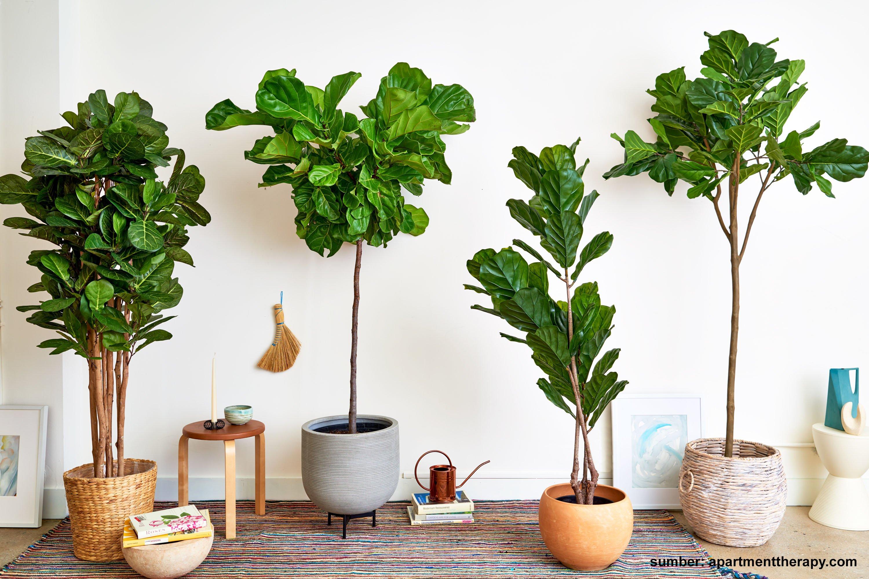 Cara rawat Indoor Fiddle Leaf Fig