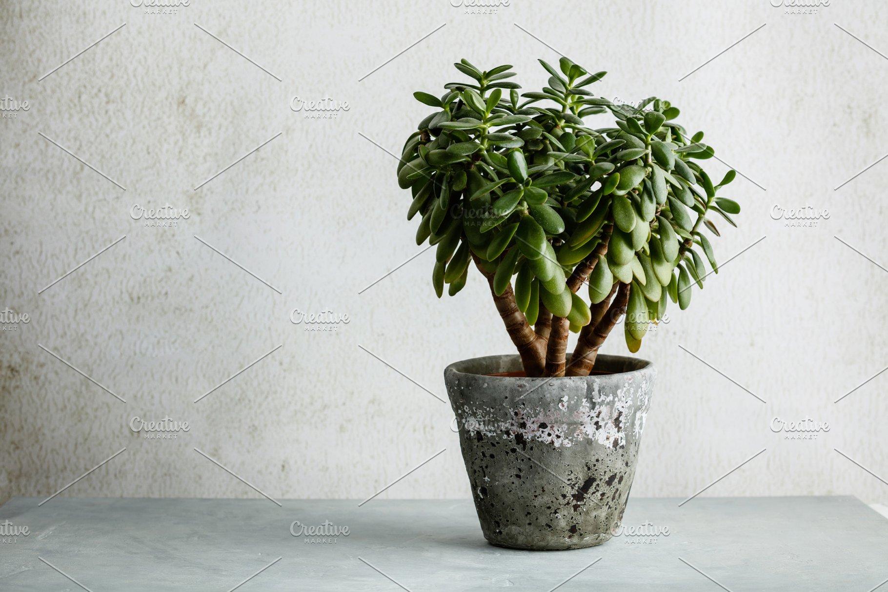 Jade Plant atau Pohon Uang