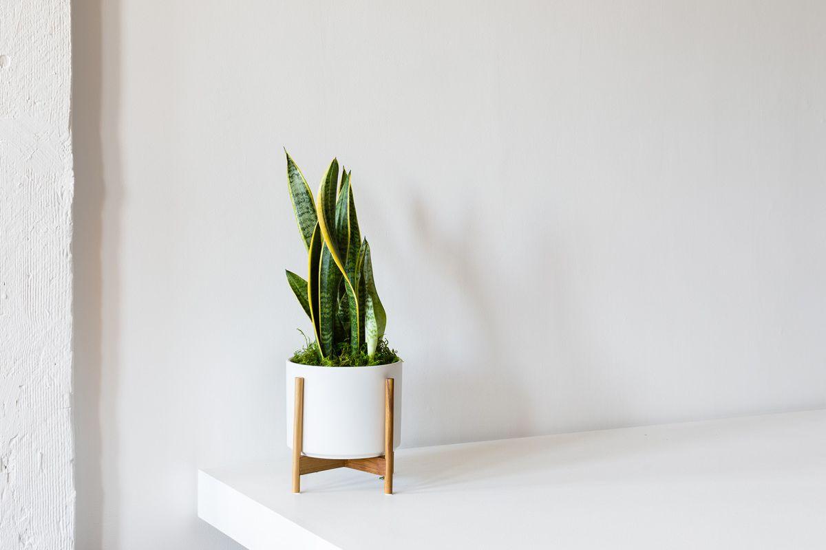 tumbuhan snake plant