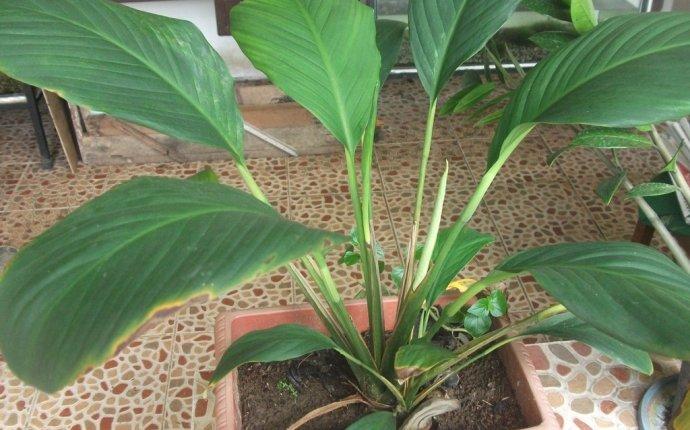 feng shui tanaman