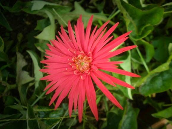 tanaman hias hebras (gerber daisy)